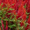 Celosia amaranth Flower Seed