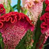Cockscomb Celosia Flower Seeds