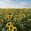 Sunflower russian giant – desi seeds