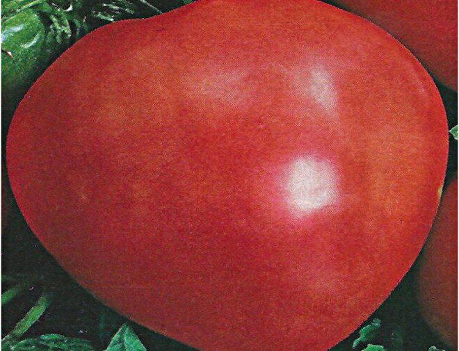 tomato imo oxheart