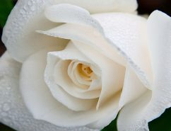 miniature rose white