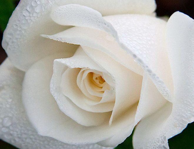 miniature rose white