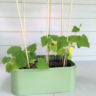 cucumber pot
