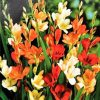 Tritonia Flower Bulbs gardening flower bulbs | outdoor plants
